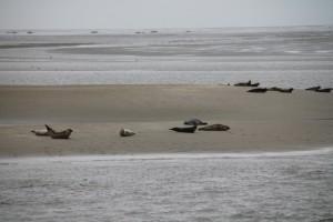 Seehundbank Gelbsand